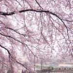 中井精也DTmoment桜の写真